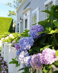 hydrangea for days