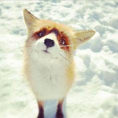 Curious fox.