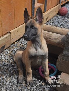 www.wolfsbaneK9.com Belgian Malinois Puppy Standard Color  Ears Up and Ready for Action