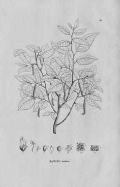 Natural dyes old fustic, maclura tinctoria // tintes naturales. Palo amarillo DIY