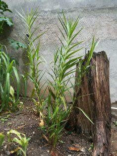 Orquídea Bambu