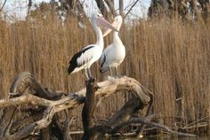 Kerang Lakes pelicans