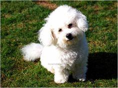 bichon-frise-dogs