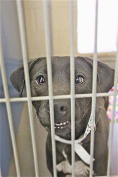 """Friends of Arizona's Shelter Animals Page Liked · March 12 · Edited · · WE122 / A3581338 """"HARLEY"""" 3 YR F BLACK / WHITE PIT BULL/MIX OWNER SUR Intake Date: 3/9/2015 Go Dog Go, Pet Adoption, Animal Adoption, My Heart Hurts, Animal Rescue Site, Pit Bull Love, Small Breed, Animal Shelter, Fur Babies"""