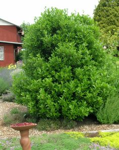 bay-laurel-tree Lauras nobilis