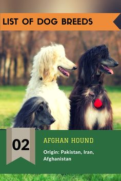 The Afghan Hound ✔ Hypoallergenic: Yes ✔ Life span: 12 – 14 years ✔ Temperament: Aloof, Clownish, Dignified, Happy, Independent ✔ Origin: Pakistan, Iran, Afghanistan ✔ Colors: Black, Cream, Red ✔ Height: Male: 68–74 cm, Female: 60–69 cm #afghanhound #dogbreeds