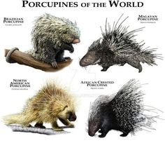 Porcupines Of The World
