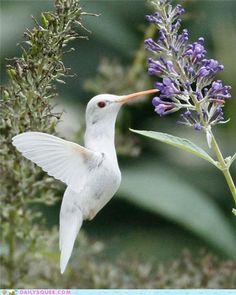 Rare albino Ruby-Throated  Hummingbird.../