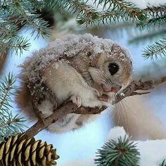 Cute Flying Squirrel