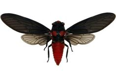 Supplies for your artworks - dried insects - :  5 Cicadidae Heuchys sanguinea…