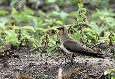 Foto perdiz-do-mar (Glareola pratincola) por Flávio Mota | Wiki Aves - A Enciclopédia das Aves do Brasil