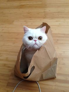 http://www.kittyinny.com/blog/exotic-shorthair-a-persian-without-pretension