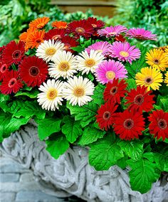 Designs For Garden Flower Beds Gerberas Come In Yellow, Pink, Red, Orange And White. Happy Flowers, Beautiful Flowers, Daisy Love, Gerber Daisies, Annual Flowers, Buy Plants, Order Flowers, Bulb Flowers, Container Flowers