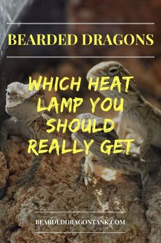 Do you need a heat lamp for your bearded dragon? This article will help you to choose the right heat lamp for your situation. Bearded Dragon Heat Lamp, Fancy Bearded Dragon, Bearded Dragon Substrate, Bearded Dragon Lighting, Bearded Dragon Habitat, Reptile Heat Lamp, Dragon Facts, Bearded Dragon Enclosure, Pet Dragon