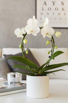 En orkidé med god kvalitet skal ha friske grønne blader og røtter i tillegg til rikelig med blomster og knopper.