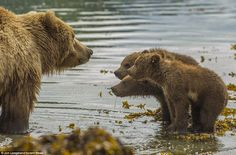 Take us with you! The trio of little grizzlies refused to be left behind when their mother went for a paddle in a stream in Katmai National Park, Alaska