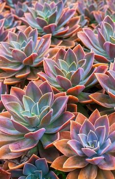 'Echeveria' iPhone Case by runlenarun I don't know what thi. - 'Echeveria' iPhone Case by runlenarun I don't know what this witchcraft - Succulents Wallpaper, Flower Wallpaper, Cacti And Succulents, Planting Succulents, Planting Flowers, Iphone Wallpaper Plants, Succulents Drawing, Wallpaper Ideas, Iphone Hintegründe