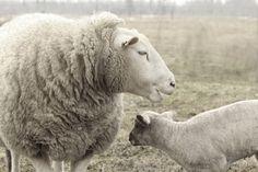 Sheep  Photography Ewe Photography  French Country Decor Animal Photography