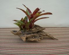 Bromeliad Centerpiece for Home Decor Tropical Centerpieces, Centerpiece Decorations, Tropical Decor, Tropical Plants, Table Centerpieces, Driftwood Centerpiece, Driftwood Planters, Porch Area, State Of Florida