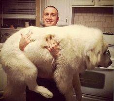 """¡Quien dijo """"menos es más"""" no conoció a estos perros!Si bien su tamaño supera el de la mayoría de los perros comunes, parecer ser que ellos no se han dado cuenta de esto. Algunos de estos..."""