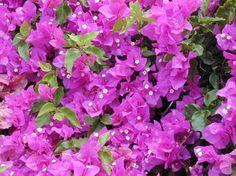 Bougainvillea is awesome because it's disease resistant and easily remains pest free, making it one of the easier plants to take care of. Not only that, but it grows well on bushes and hedges, too, so you have lots of options!