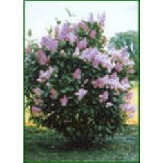 Old Fashioned Fragrant Lilac (Free Shipping)