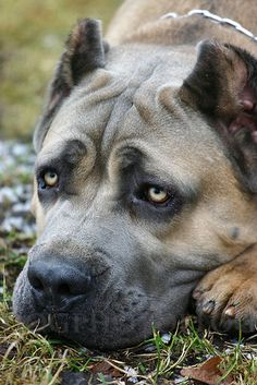 Cane Corso...looks like the three headed dog in harry potter! (it's name is escaping me)