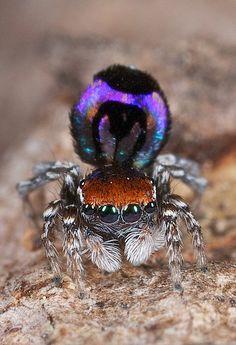 Peacock spider, Maratus volans
