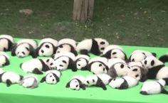 Het is een record! Dankzij een fokprogramma in China zijn daar dit jaar maar liefst 23 reuzenpanda's geboren. Dat is een ongelofelijk aantal, want het is erg lastig panda's aan het paren te krijgen. Fotomoment De Chengdu Research Base of Giant Panda Breeding, waar de panda's zijn geboren, observeert de dieren nog beter dan eerst.…