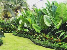 "Large Black Stem ""African"" Elephant Ears mixed in w/ Heliconia & Red Congo & bordered by free flowing Green Island Ficus ! Tropical Backyard Landscaping, Privacy Landscaping, Nice Backyard, Landscaping Ideas, Small Tropical Gardens, Tropical Garden Design, Ficus, Elephant Ears, Elephant Ear Plant"