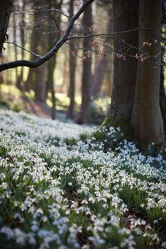 Snowdrops, carpet of snow, but spring is near.