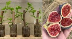 Grow your own fig tree in 30 daysUnderstanding about Bonsai in Whitestown, New York Vegetable Garden, Garden Plants, Indoor Plants, House Plants, Fruit Plants, Fruit Trees, Ficus, Organic Gardening, Gardening Tips