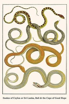 Snakes of Ceylon or Sri Lanka, Bali & the Cape of Good Hope
