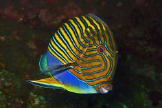 Blue lined Surgeonfish - Acanthurus lineatus by divemecressi, via Flickr
