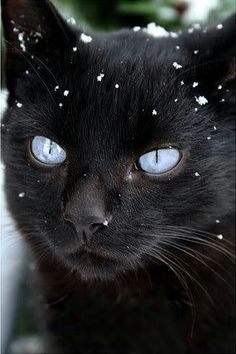 snowing on blue-eyed black cat