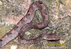Walls Hump-nosed Pit Viper (Hypnale walli)