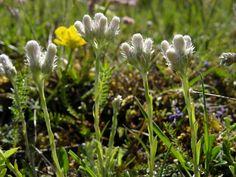 Ahokissankäpälä, Kissankäpälä (Antennaria dioica)
