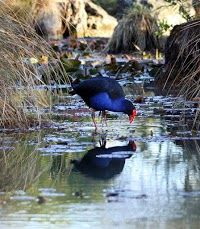 pukeko bird new zealand