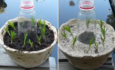 House Garden and Kitchen: C: Lavender cuttings – Growing Lavender Gardening - Growing Plants at Home Lavender Garden, Green Garden, Growing Lavender, Garden Crafts, Aquaponics, Growing Plants, Outdoor Life, Terrarium, Eco Friendly