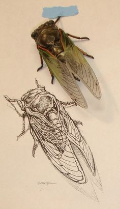 Scientific Illustration- work with the science teacher's bug collection timing