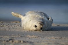 Young gray seal on the dunes of Helgoland by Gunnar Z.