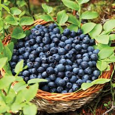 Grow rich, sweet blueberries with Sunshine Blue Blueberry Plants from Harris Seeds.  Order today!