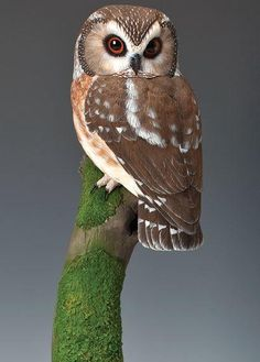 Have you seen this owl? Saw-whet Owl, Part Two Owl Bird, Bird Art, Pet Birds, Baby Owls, Baby Animals, Cute Animals, Owl Photos, Owl Pictures, Beautiful Owl