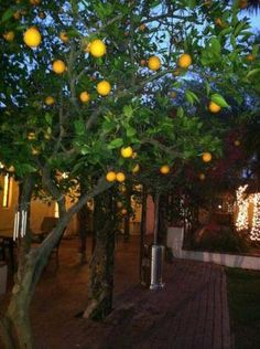 Our #oranges are just about ready to be picked!