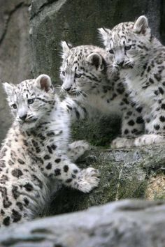 Cute Animal Pictures: 150 Of The Cutest Animals! – Meine bunte Welt Cute Animal Pictures: 150 Of The Cutest Animals!The three snow leopard musketeers plan an adventure… Big Cats, Cool Cats, Cats And Kittens, Cute Baby Animals, Animals And Pets, Funny Animals, Animals Images, Beautiful Cats, Animals Beautiful