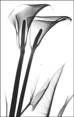 calla lily x ray - Google Search