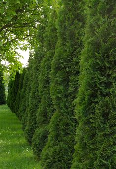 When we say Green Giant we're not referring to the Jolly Green Giant mascot associated with canned and frozen vegetables. We're referring to the Thuja Green Giant. You can't have 'giant' in the name… Privacy Trees, Privacy Hedge, Privacy Fences, Privacy Landscaping, Landscaping Ideas, Backyard Ideas, Backyard Privacy, Fast Growing Evergreens, Fast Growing Trees