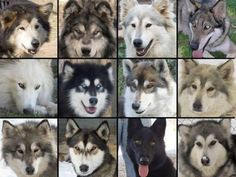 Are any of these dogs part wolf?