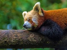 Perfectly Positioned Red Panda...  photo by Surendra,Pradhan  Fat Cats Lucky Dogs (@fatcatnluckydog) | Twitter