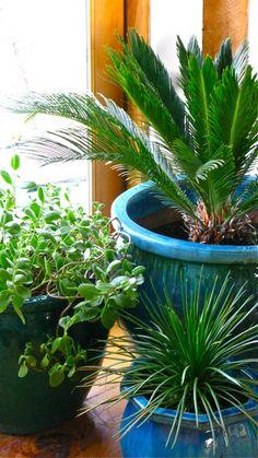 Trio of Houseplants- Sago Palm, Agave, Kalanchoe ⓒ michaela medina - thegardenerseden